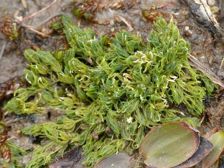 Charophyta Stonewort Charophyta Wildlife Photography