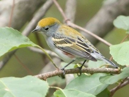 Chestnut-sided warbler Chestnutsided Warbler Identification All About Birds Cornell
