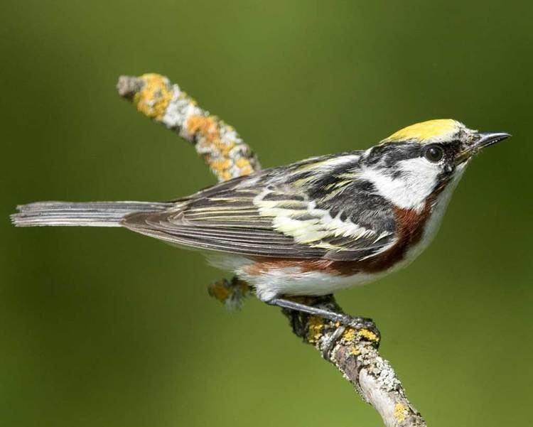 Chestnut-sided warbler Chestnutsided Warbler Audubon Field Guide