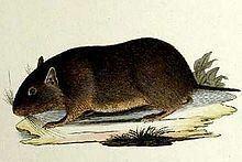 Chilean rock rat httpsuploadwikimediaorgwikipediacommonsthu
