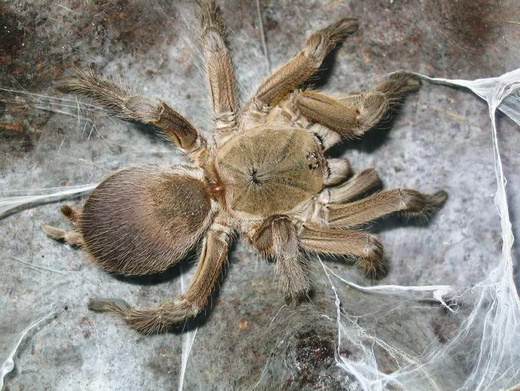 Chilobrachys guangxiensis Chilobrachys guangxiensis Arachnoboards