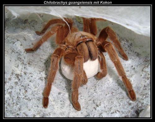 Chilobrachys guangxiensis imgwebmecompiceeckisvogelspinnenzuchtcompdsc