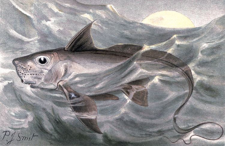 Chimaera Rabbit fish Wikipedia
