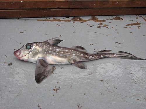 Chimaeridae Flickriver Photoset 39Family Chimaeridae Ratfishes39 by Crappy