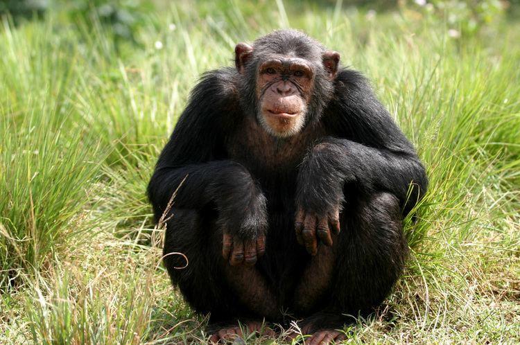 Chimpanzee Chimpanzee African Wildlife Foundation
