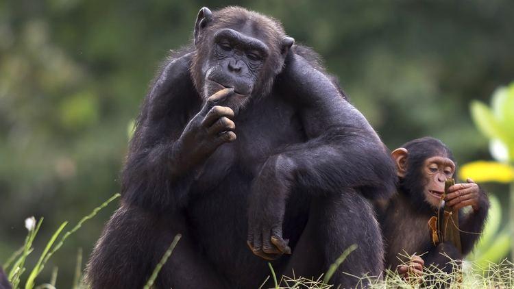 Chimpanzee chimpanzeewithbabyjpg