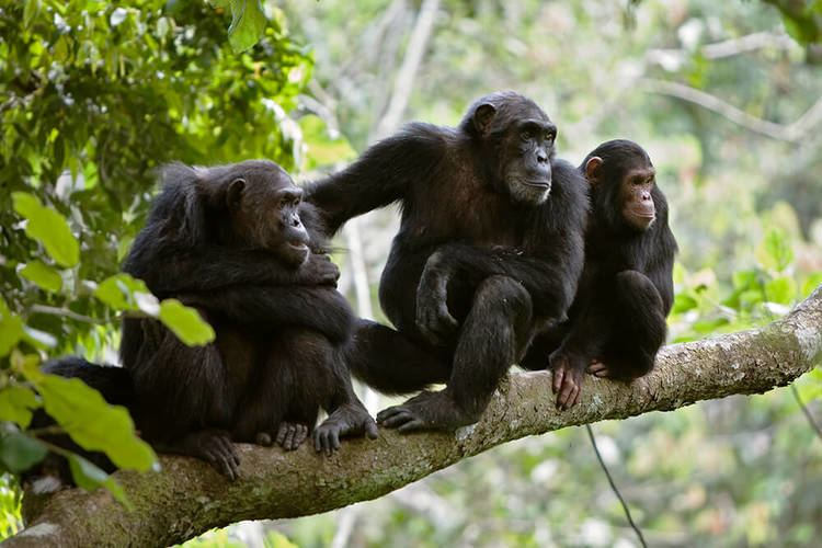 Chimpanzee Chimpanzee San Diego Zoo Animals amp Plants