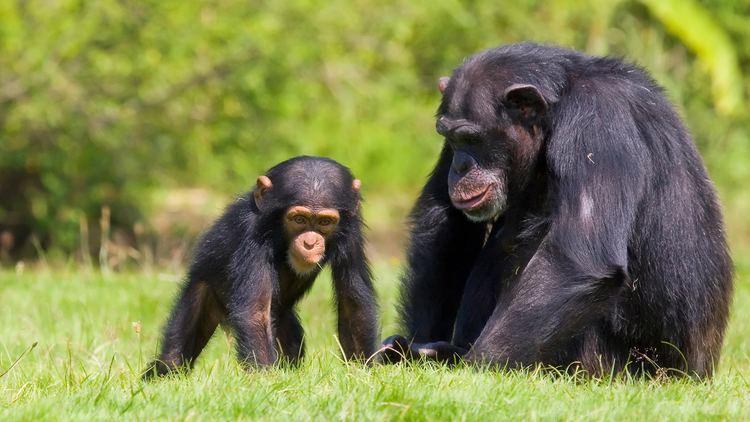 Chimpanzee chimpanzeewithbaby2jpg