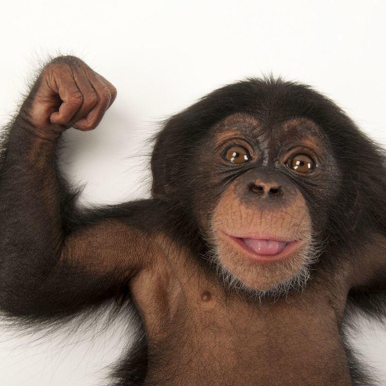 Chimpanzee wwwnationalgeographiccomcontentdamanimalsthu