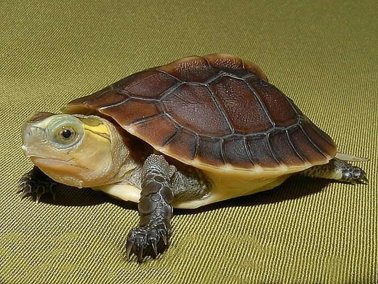 Chinese Box Turtle Alchetron The Free Social Encyclopedia