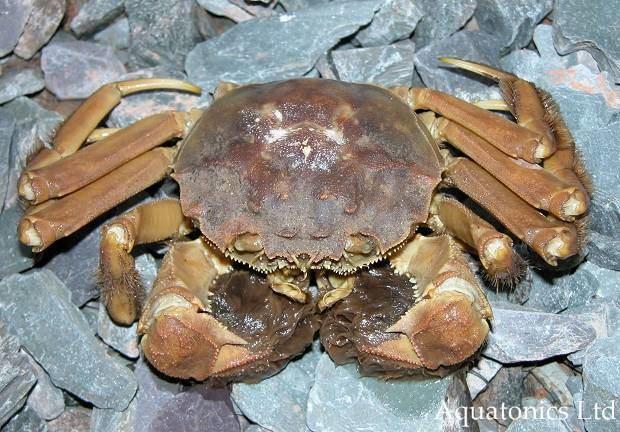 Chinese Mitten Crab Alchetron The Free Social Encyclopedia