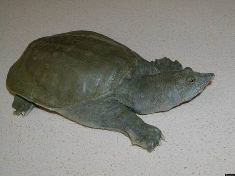 Chinese softshell turtle - Alchetron, the free social