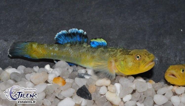 Chlamydogobius Chlamydogobius eremius gold et Chlamydogobius eremius Rainbowfishinfo