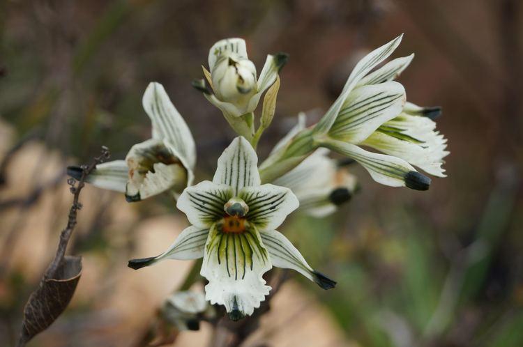 Chloraea FileChloraea bletioides Lindl 8195093790jpg Wikimedia Commons