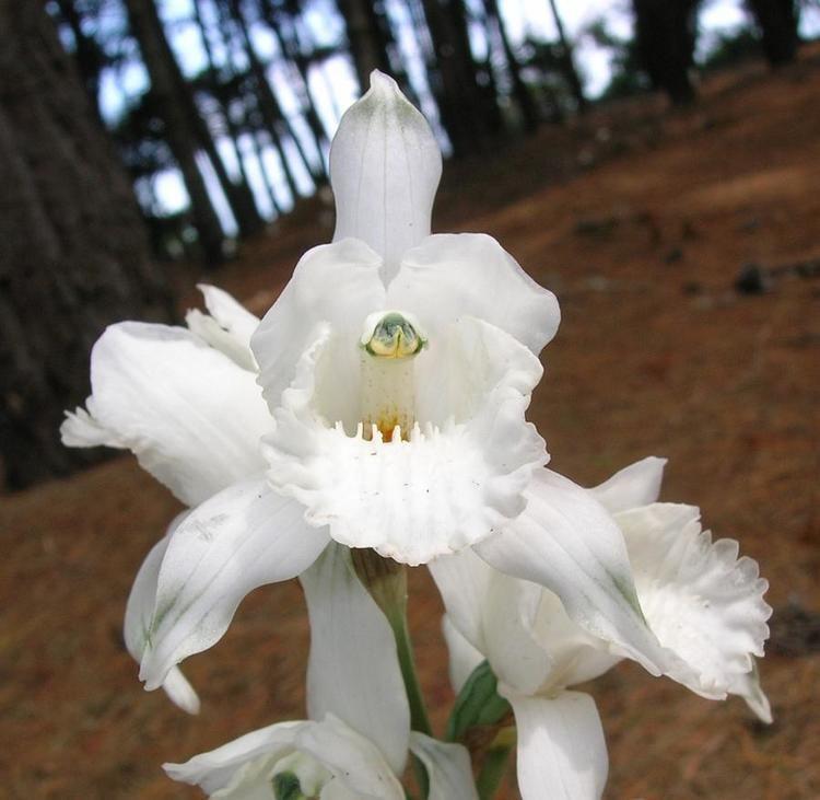 Chloraea httpsuploadwikimediaorgwikipediacommons99