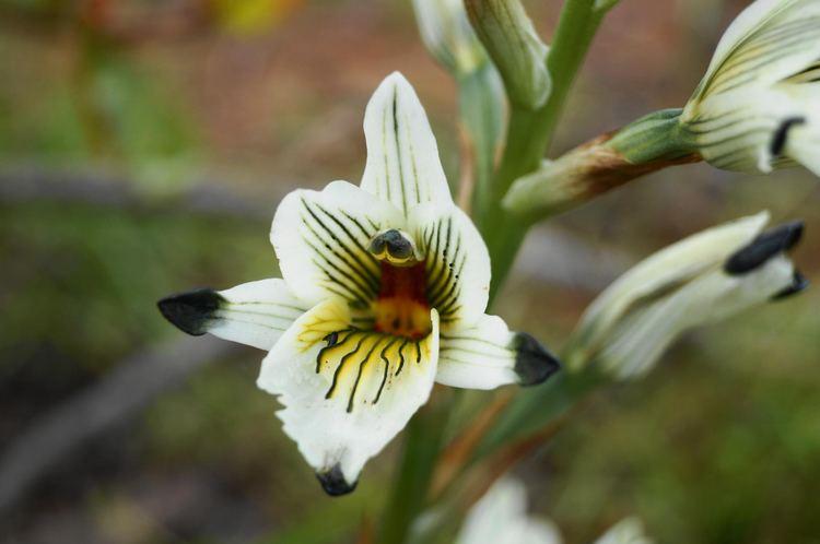 Chloraea Chloraea Orchidaceae Wikimedia Commons