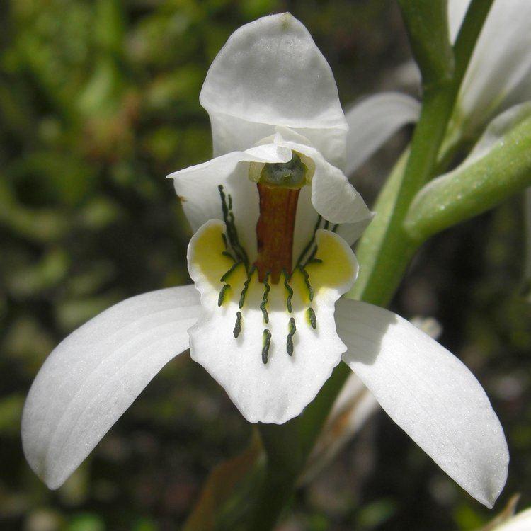 Chloraea Chloraea longipetala Wikiwand