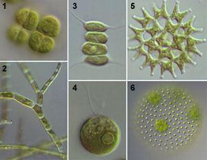 Chlorophyceae ChlorophyceaeIMGjpg