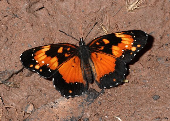 Chlosyne lacinia wwwlearnaboutbutterfliescomChlosyne20lacinia2