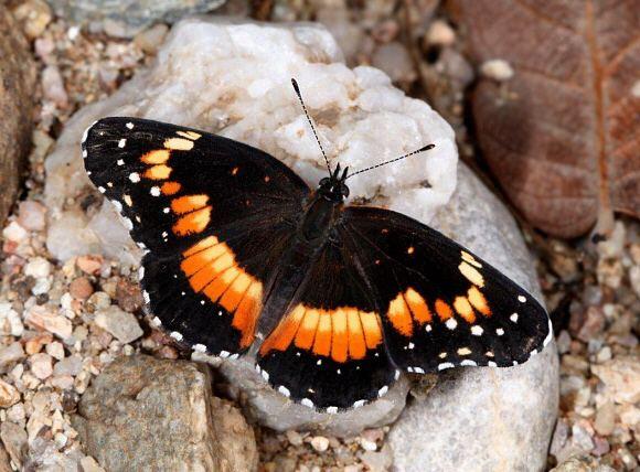 Chlosyne lacinia Butterflies of North America Chlosyne lacinia