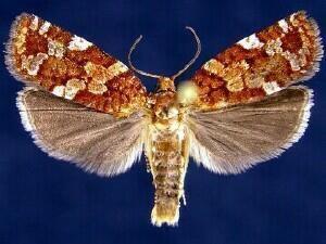 Choristoneura pinus mothphotographersgroupmsstateeduFiles1JV300J