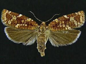 Choristoneura pinus Moth Photographers Group Choristoneura pinus 3643