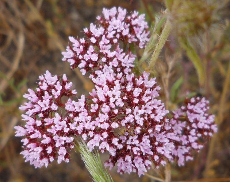 Chorizanthe Chorizanthe staticoides Wildflowers in Santa Barbara