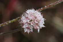 Chorizanthe membranacea httpsuploadwikimediaorgwikipediacommonsthu