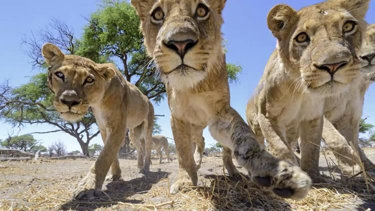 Chris McLennan Photographer uses fourwheeled camera buggy to get close to lions