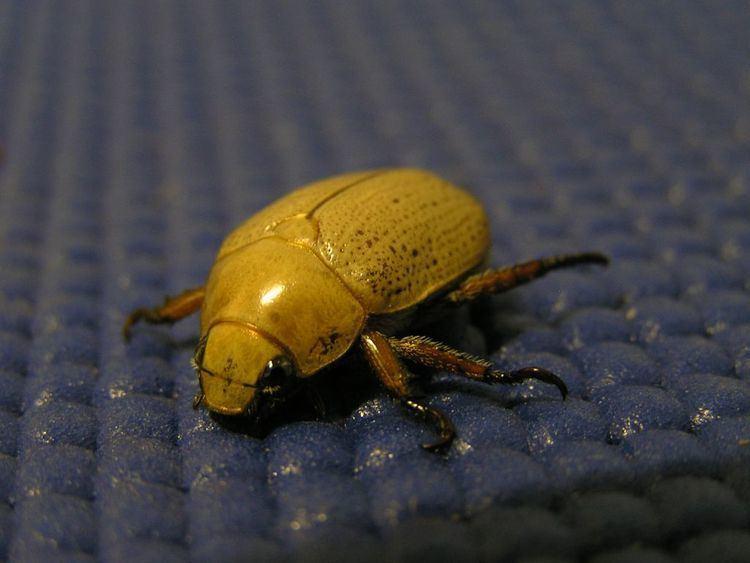 Christmas beetle - Alchetron, The Free Social Encyclopedia