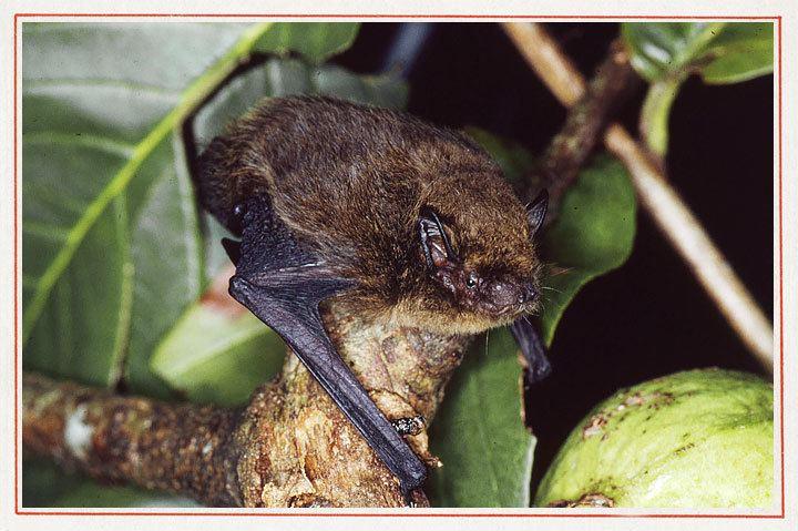Christmas Island pipistrelle - Alchetron, the free social encyclopedia