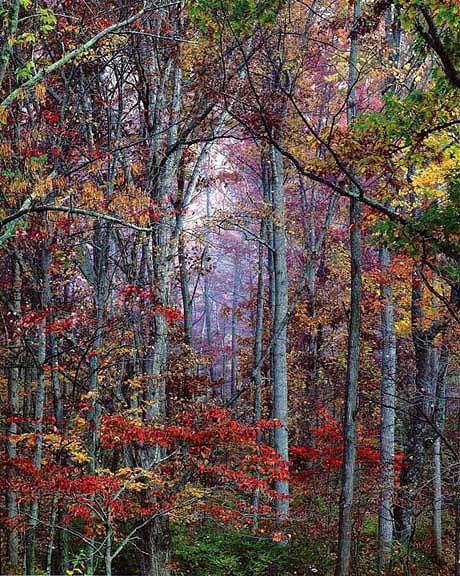 Christopher Burkett Glowing Autumn Forest Christopher Burkett