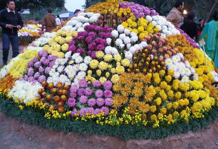 Chrysanthemum Day