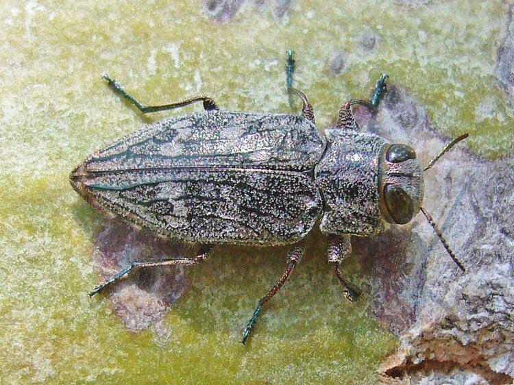 Chrysobothris The Chrysobothris femorata problem Beetles In The Bush