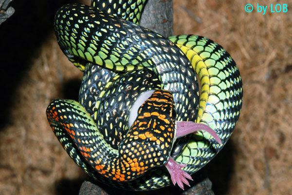 Chrysopelea paradisi Paradise Flying Snake Chrysopelea Paradisi World Of Snakes