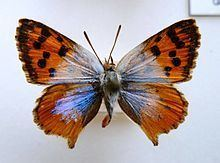 Chrysoritis httpsuploadwikimediaorgwikipediacommonsthu