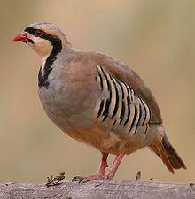 Chukar partridge httpsuploadwikimediaorgwikipediacommonsthu