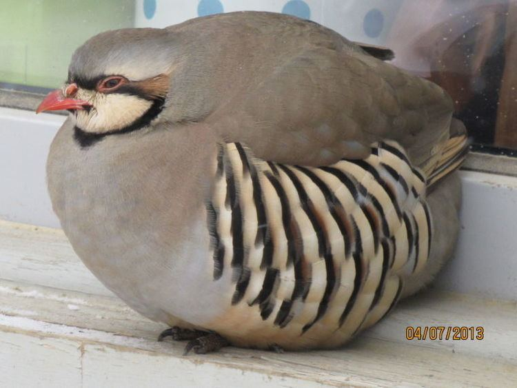 Chukar partridge - Alchetron, The Free Social Encyclopedia