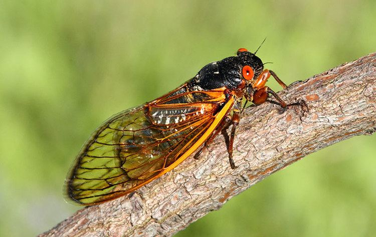 Cicada Watch Out East Coast The Cicadas Are Coming Modern Farmer