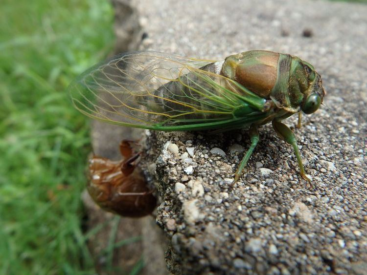 Cicada Cicadas Cicada Pictures Cicada Facts National Geographic