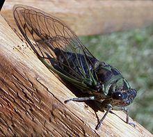 Cicada httpsuploadwikimediaorgwikipediacommonsthu