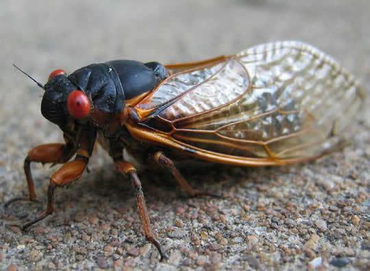 Cicada Cicadas invade Princeton University