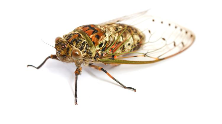 Cicada Cicada National Geographic Kids