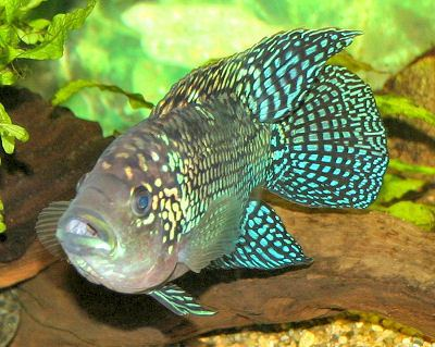 Cichlid Cichlids Fish Guides for African South American Dwarf Cichlids