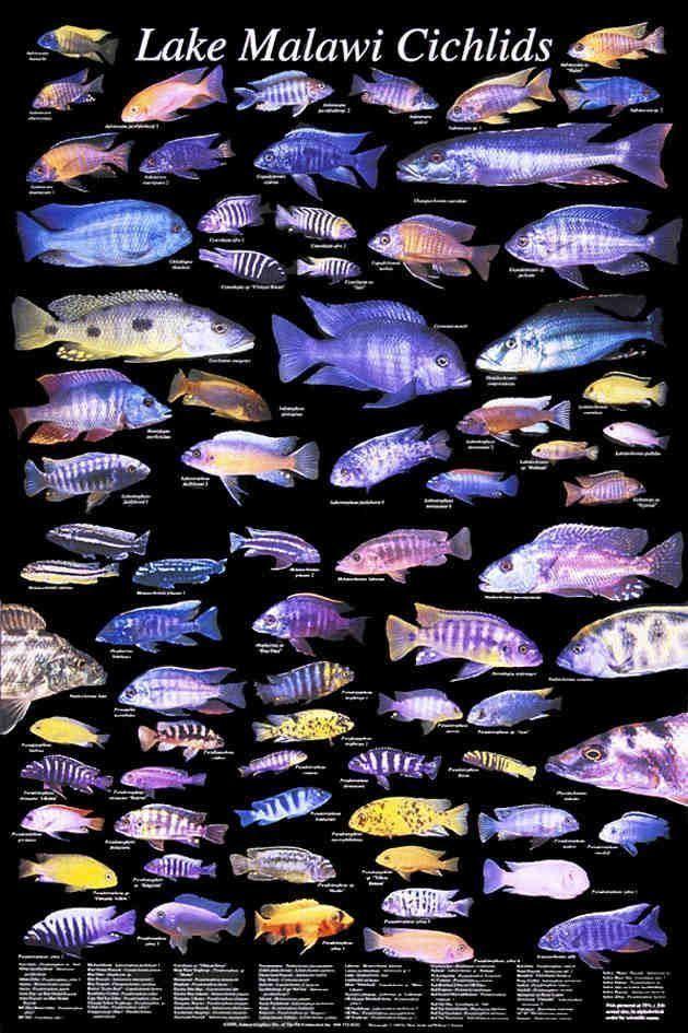 Cichlid 1000 ideas about African Cichlids on Pinterest Cichlids Malawi