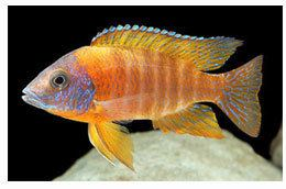 Cichlid CichlidAdvicecom A complete beginners guide