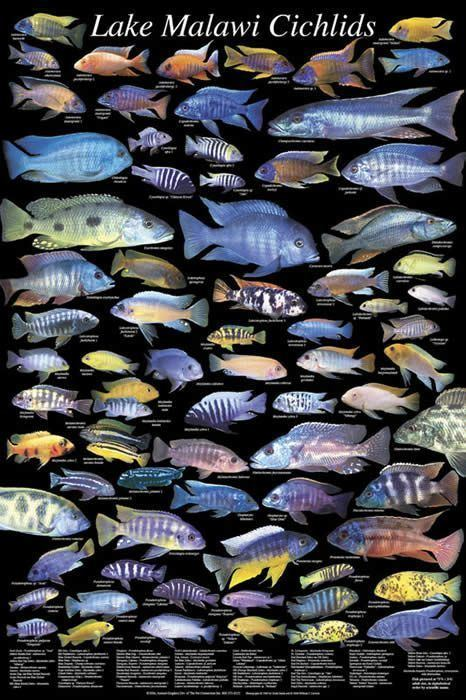 Cichlid 1000 ideas about Cichlids on Pinterest Betta Cichlid fish and