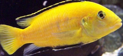 Cichlid Cichlid Animal Guide Georgia Aquarium