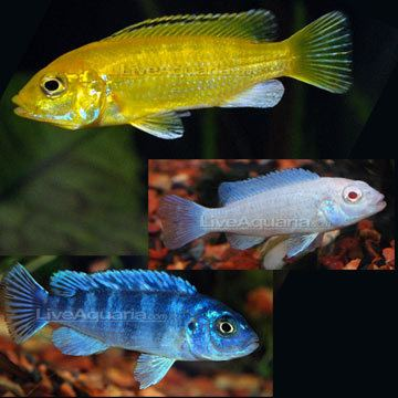 Cichlid Tropical Fish for Freshwater Aquariums Mbuna Mixed Cichlid
