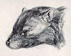 Cimolomys httpsuploadwikimediaorgwikipediacommonsthu